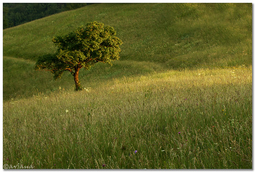 tree spring afternoon meadow slovenia lig aviana2 fotocompetition fotocompetitionbronze
