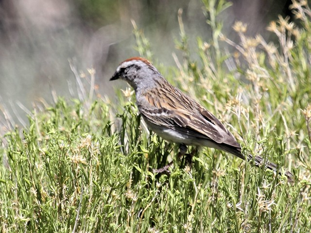 Rufous-crowned Sparrow 4-20130620