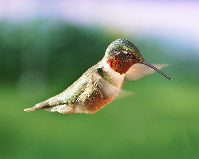 ruby-throated, Hummingbird, Male, In flight, Colorful
