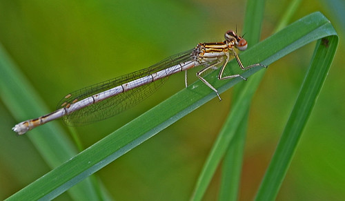 Club-tailed Dragonfly