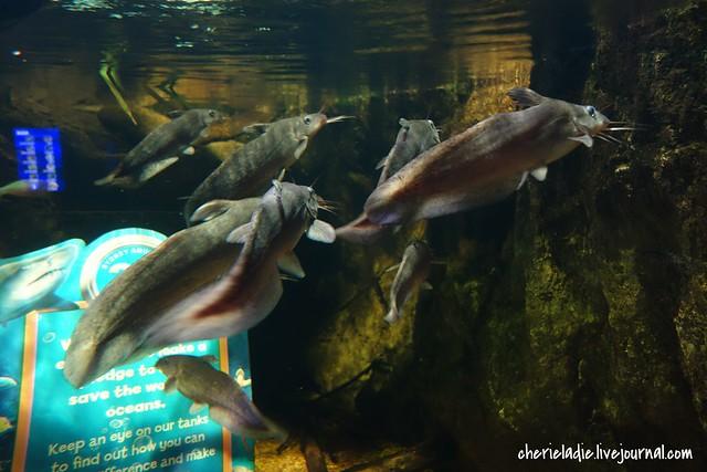 eel tailed catfish or dewfish sydney aquarium