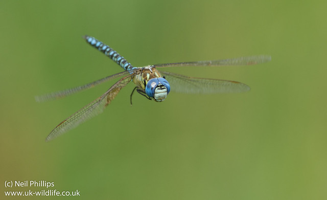 Southern migrant hawker Aeshna affinis-3