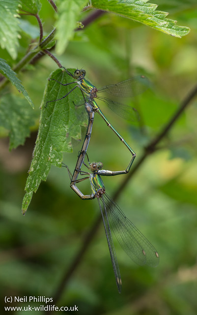 Willow emerald damselfly Lestes viridis mating wheel