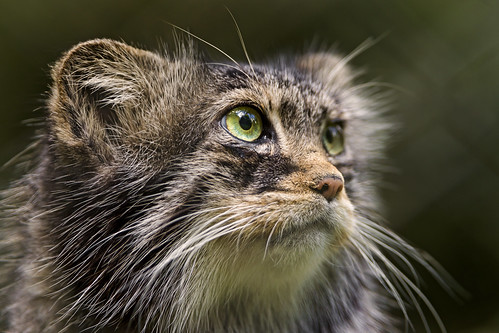 Another pallas cat portrait by Tambako the Jaguar