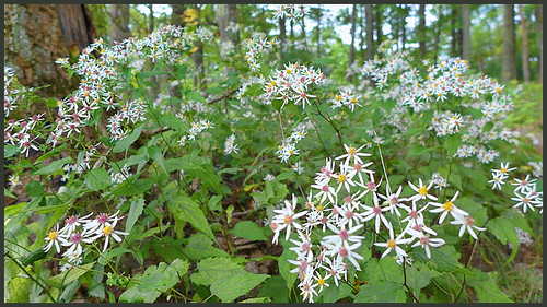 Whie Wood Aster--Smartview Blue Ridge Parkway