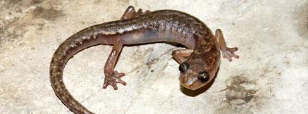洞穴八字腳蠑螈。圖片來自CI,Sean Rovito攝 。