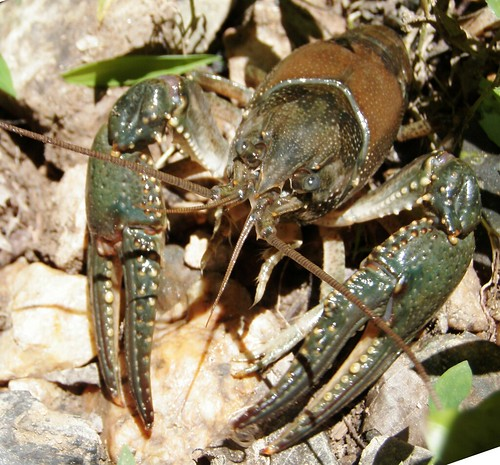 Photo set of Crayfish