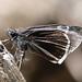 Small photo of Skipper. Hesperiidae