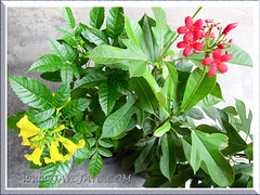 Tecoma stans and Jatropha integerrima were added to our garden collection in Sept 27 2013