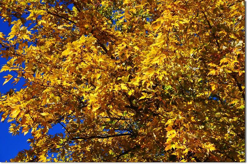 Silver maple in Fall, Chautauqua, Boulder 2