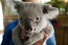 animal, snout, mammal, koala, fauna,