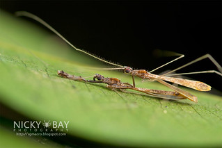 Thread-Legged Assassin Bugs (Emesinae) - DSC_0710