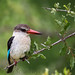 Brown-hooded  Kingfisher by gerdavs