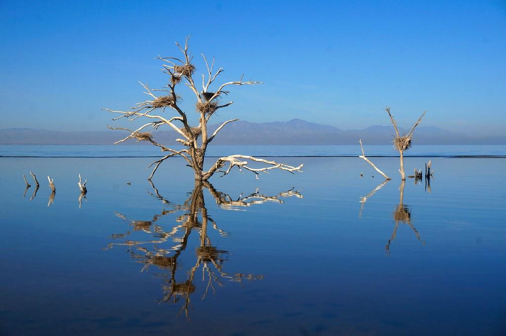 Tree with nests at Salton Sea