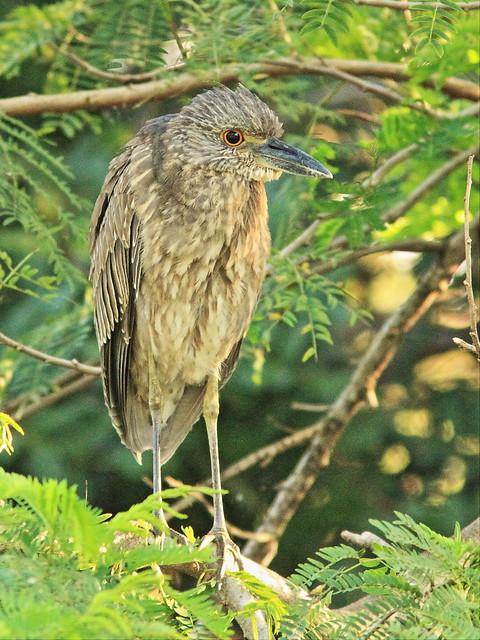 Yellow-crowned Night-Heron immature 20140226