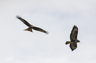 Red Kite chasing common buzzard