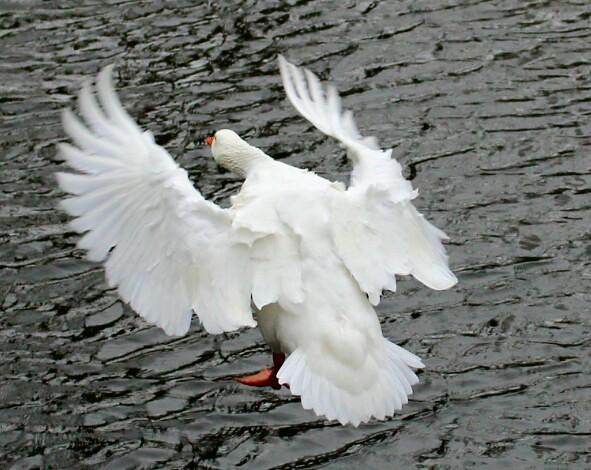 ruffled feathers | Flickr - Photo Sharing! Ruffled Feathers