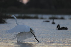 Great Egret at Dusk