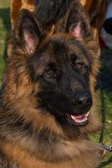 norwegian elkhound(0.0), greenland dog(0.0), saarloos wolfdog(0.0), dog breed(1.0), german shepherd dog(1.0), animal(1.0), dog(1.0), eurasier(1.0), pet(1.0), old german shepherd dog(1.0), tervuren(1.0), belgian shepherd(1.0), bohemian shepherd(1.0), wolfdog(1.0), east-european shepherd(1.0), shiloh shepherd dog(1.0), carnivoran(1.0),