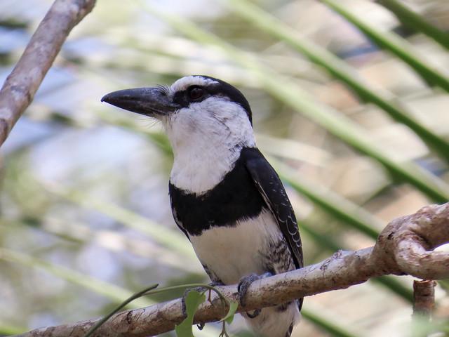 White-necked Puffbird / Buco Collarejo