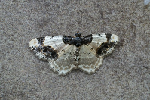 Scorched Carpet (Ligdia adustata)