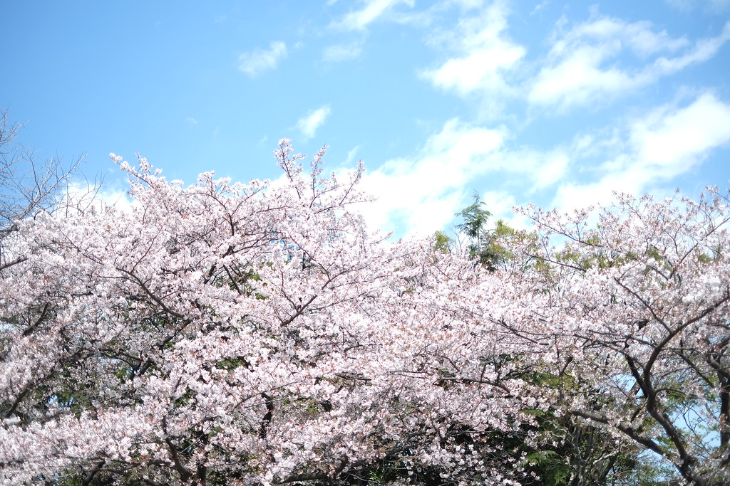 Beautiful scene of Spring & Sakura