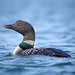 Common Loon - A Handsome Guy by sailingsue