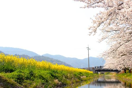 近江八幡:水郷巡り(2014.4.8)