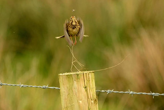 Meadow Pipit catching a Fly