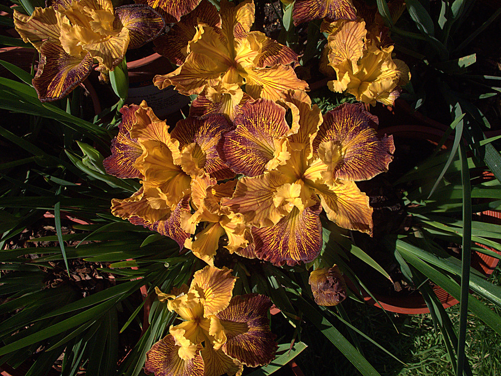 H20140410-1533—PCH Iris 'Lines That Rhyme'—RPBG Plant Sale… | Flickr