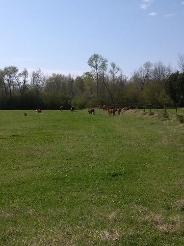 Cattle graze on a farm in Benton County, Mississippi. Cattle and calves ranked as the top livestock inventory item for the Benton County in the previous census of agriculture – what will the 2012 Census results reveal? (Photo courtesy of Dennis Garner)