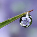 Bluebell dewdrop refraction by Lord V