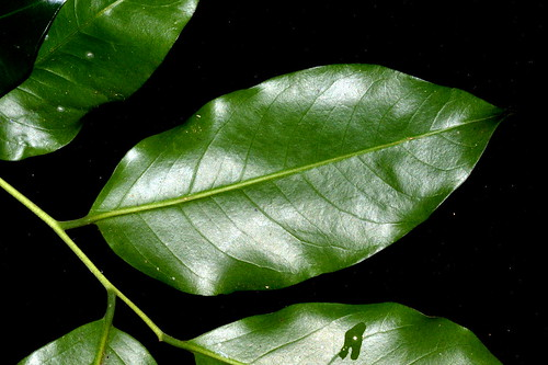 Dysoxylum latifolium DSC_0552 (16)