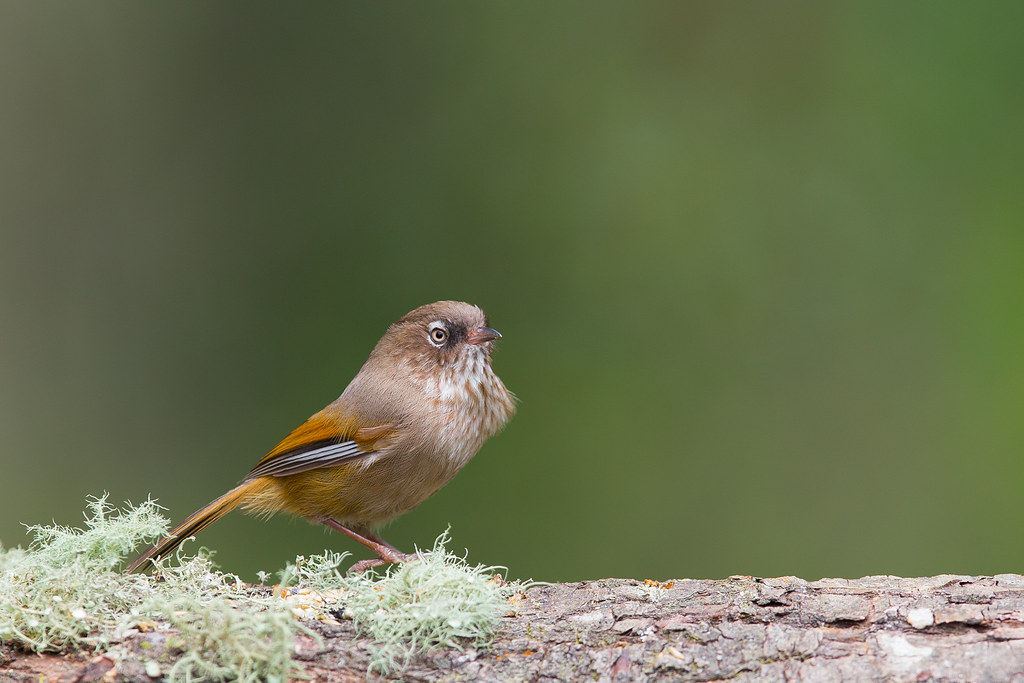 褐頭花翼-0999