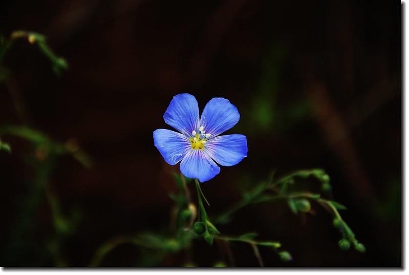 wild blue flax 1