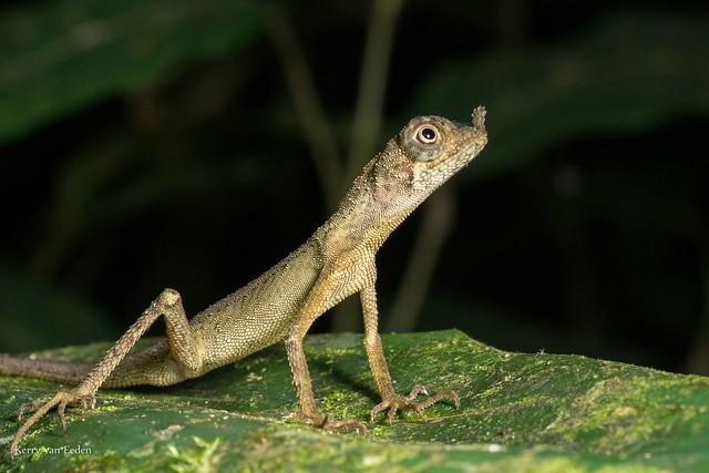 Ornate earless agama (Aphaniotis ornata)
