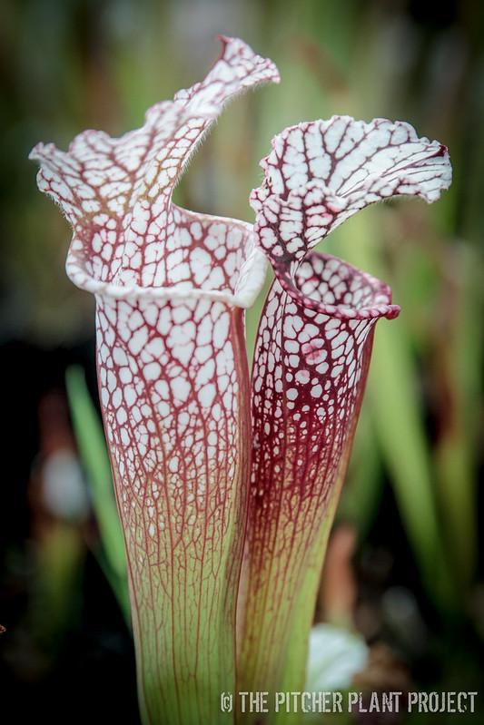 "Sarracenia leucophylla ""Purple Lips"" x leucophylla ""Mesa Exotics"""