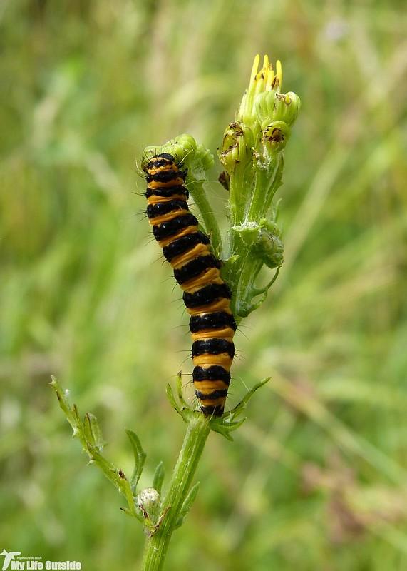 P1140339 - Cinnabar Moth Caterpillars