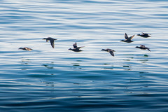 Surf Scoters in Attack Pattern Delta