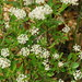 Small photo of Inland New Jersey Tea (Ceanothus herbaceus)