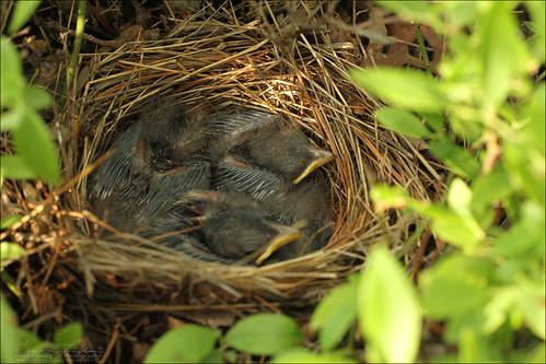Eastern Towhee Nest