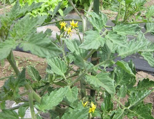 ミニトマトの花 2013年6月11日 by Poran111