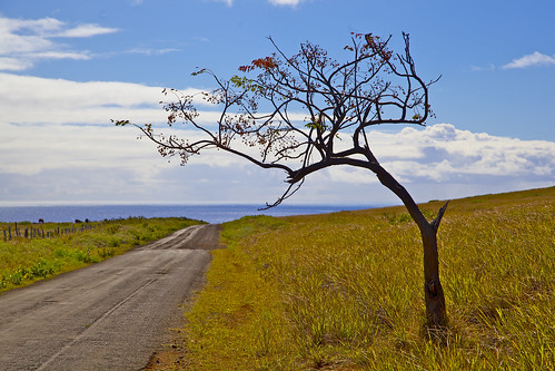 Tree thats lost its leaves ,beside a road overlooking the ocean, Easter Island, Chile 0527