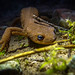 rough-skinned newt (Taricha granulosa) - underwater in a forest puddle