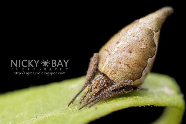 Garden Spider (Eriovixia pseudocentrodes) - DSC_9295