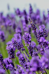 Hitchin Lavender 2013