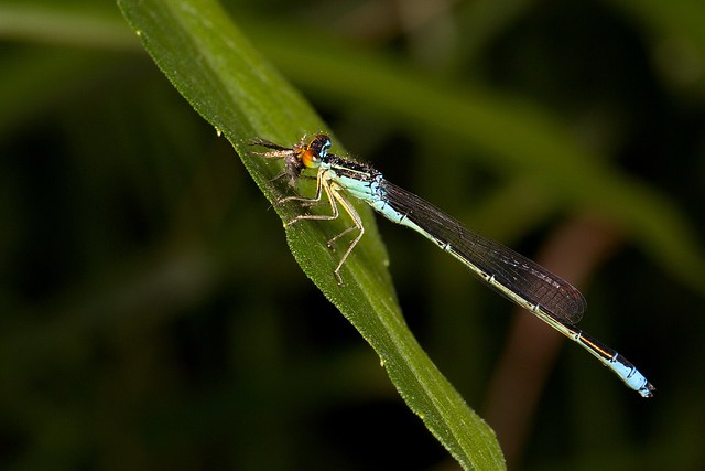 A Rainbow Bluet (Enallagma antennatum) eating a plume moth.