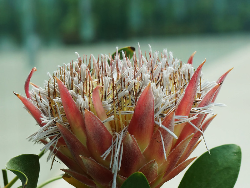 Protea cynaroides (King protea)  キングプロテア