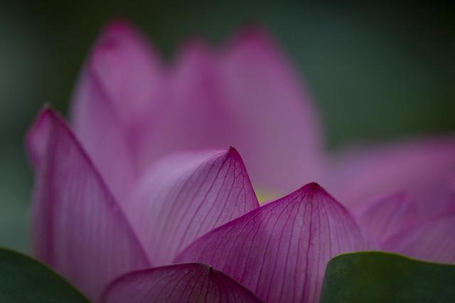 Lotus flower #6 in 2013