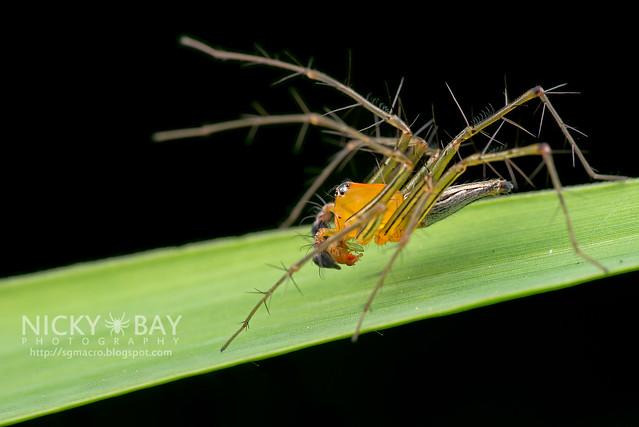 Lynx Spider (Oxyopidae) - DSC_2869